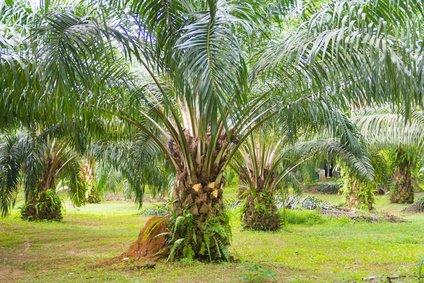 oil palm tree in garden